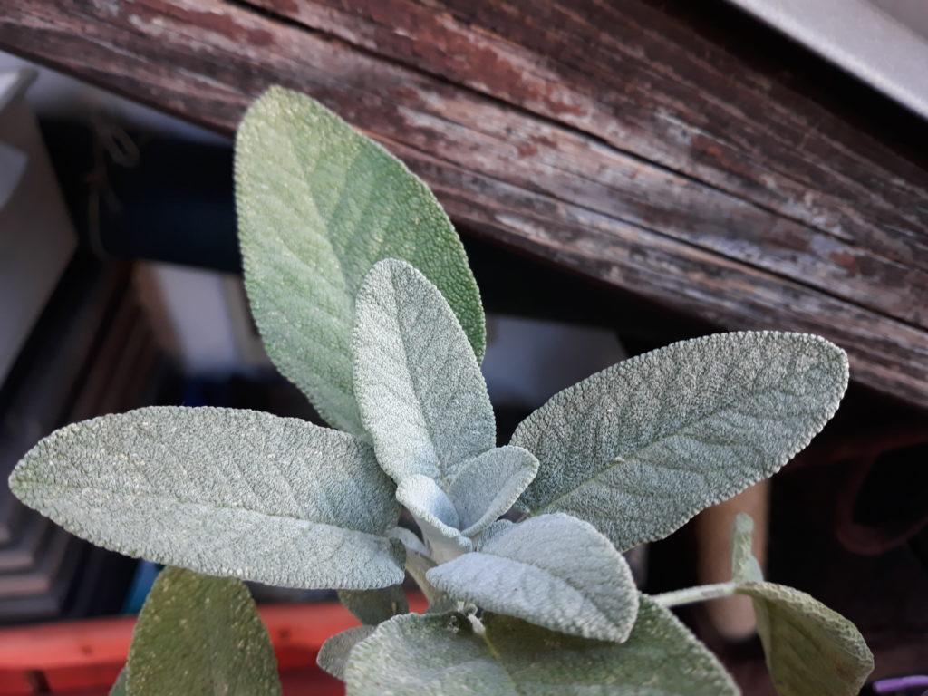 Erbe aromatiche: la Salvia